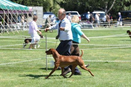 Vizsla competition