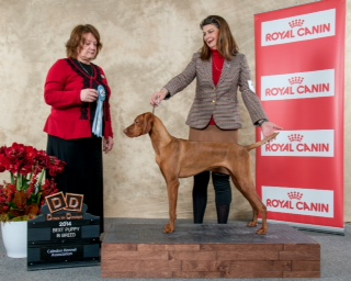 Vizsla booster show winner