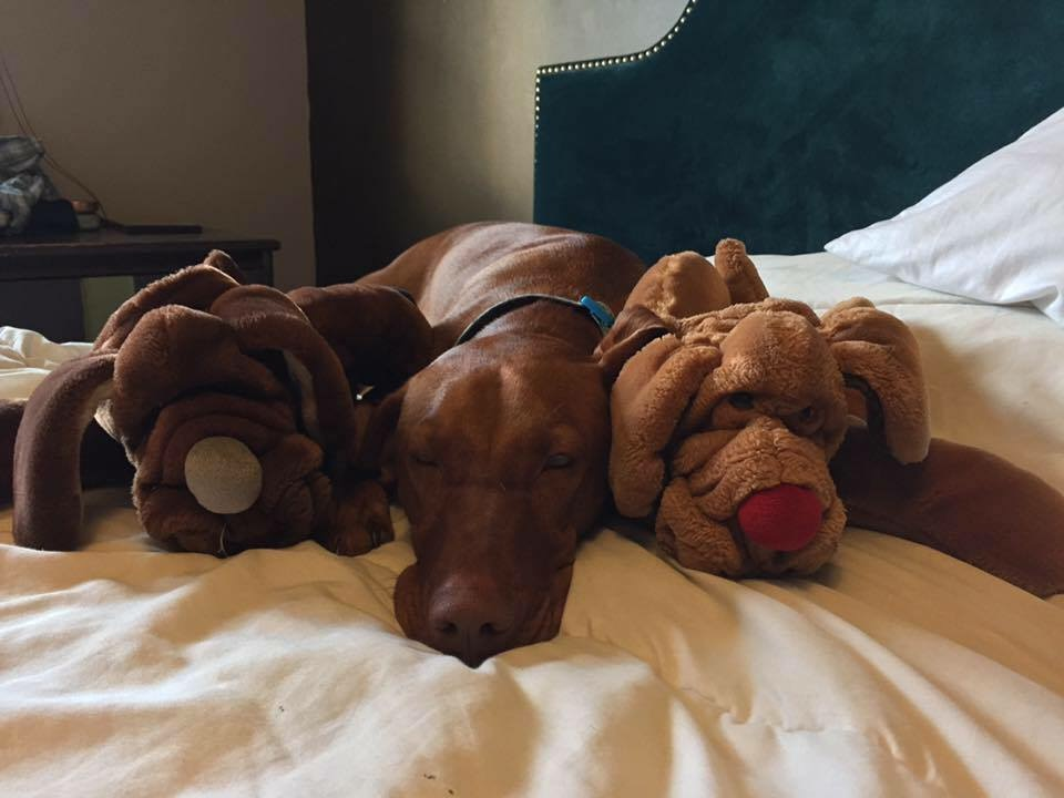 Royal vizsla lying with two stuffed dogs