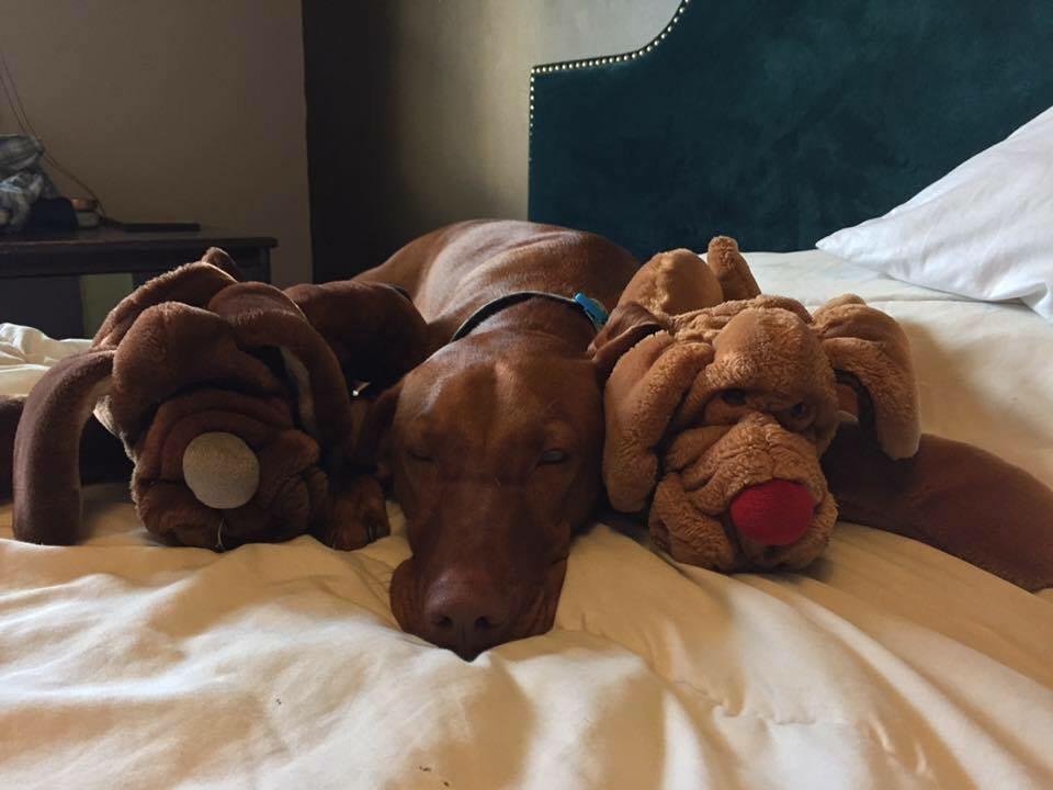 Royal vizsla lying with two stuffed dogs