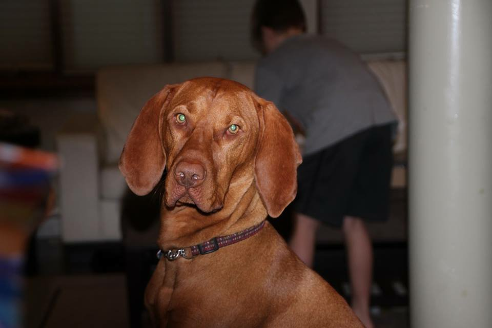 the vizsla breed