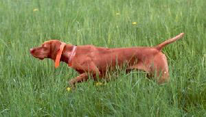 Vizsla Stoney showing fantastic point in field