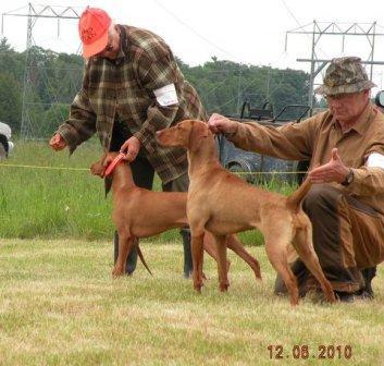 Vizsla dog Cleo in the field