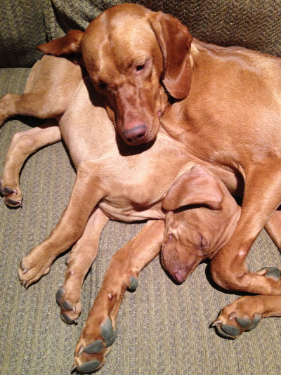 Vizsla siblings