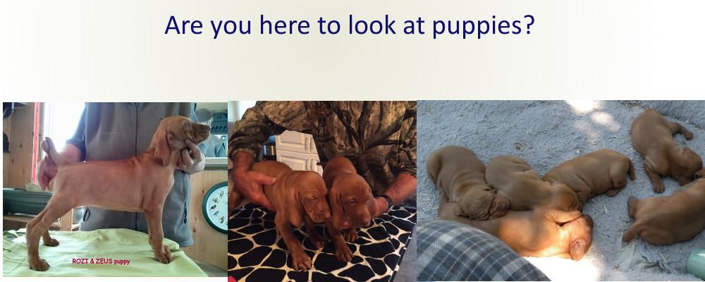 Vizsla Bonneterre puppies