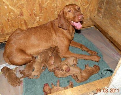 day old vizsla puppies