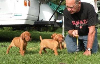 vizsla puppy training