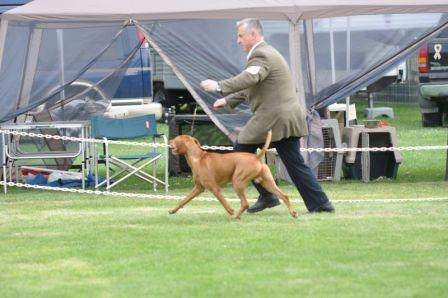 Vizsla Ripper in the show ring