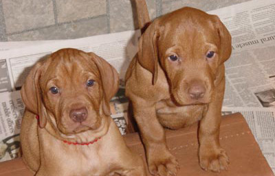 two vizsla puppies