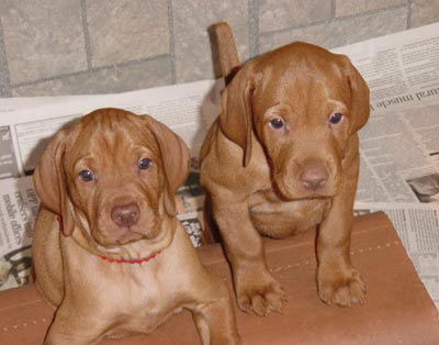 two vizsla puppies