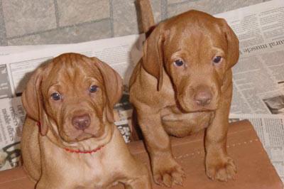 Vizsla puppies