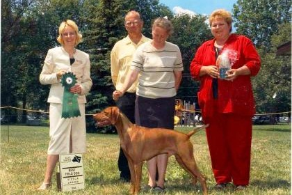 Vizsla dog winning in the show ring
