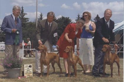 showing Vizsla dogs