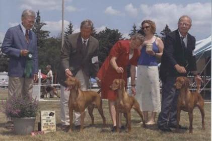 showing Vizsla dogs