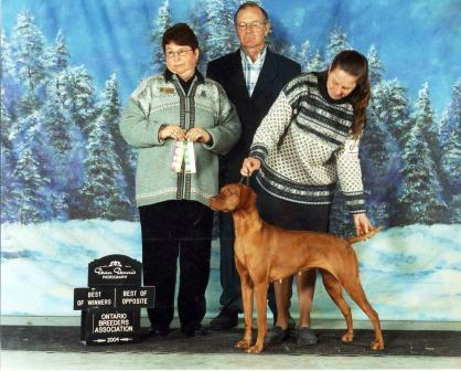 Vizsla Stoney in the show ring