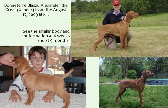 Vizsla breed conformation