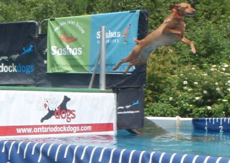 Vizsla competition jumping