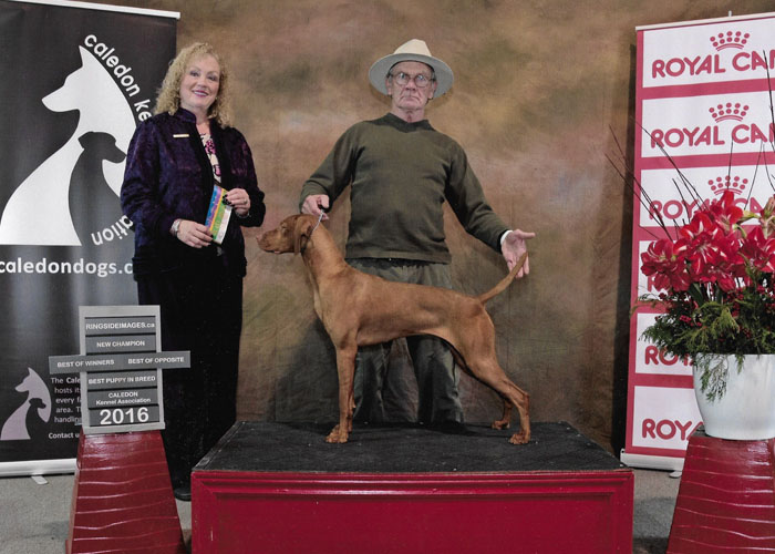 Vizsla Puppy - New Champion win in Caledon 2016