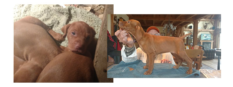 Vizsla Bonneterre puppies - Fall 2017 Litter