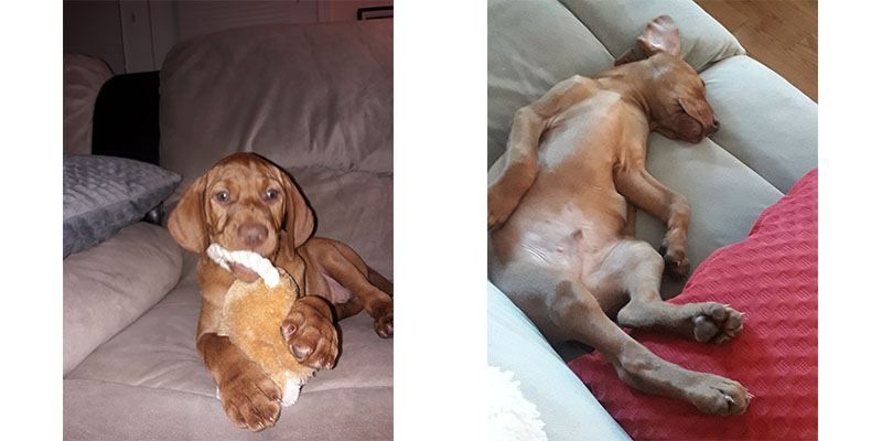 Vizsla puppy Dakota's first week at home (2 pictures)