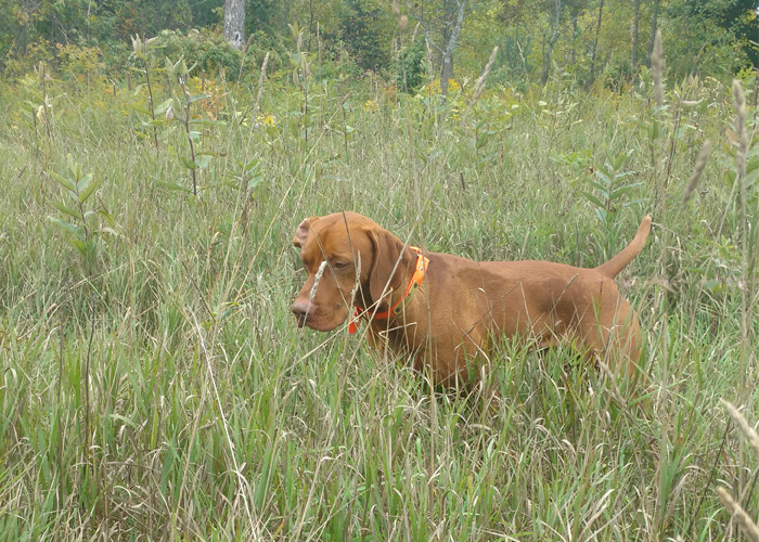 Vizsla Remy field training